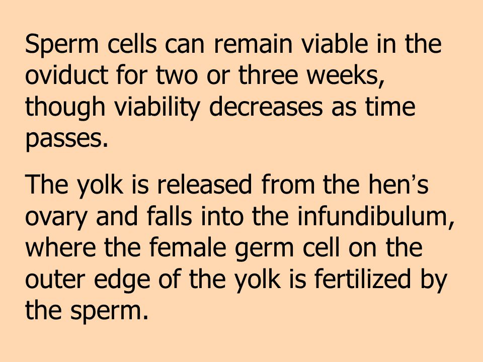 Sperm cells can remain viable in the oviduct for two or three weeks, though viability decreases as time passes.