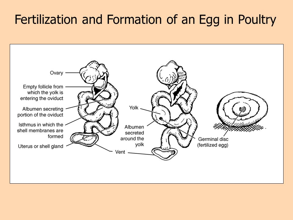 Fertilization and Formation of an Egg in Poultry