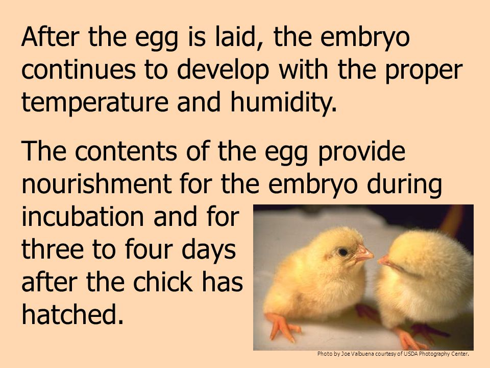 After the egg is laid, the embryo continues to develop with the proper temperature and humidity.