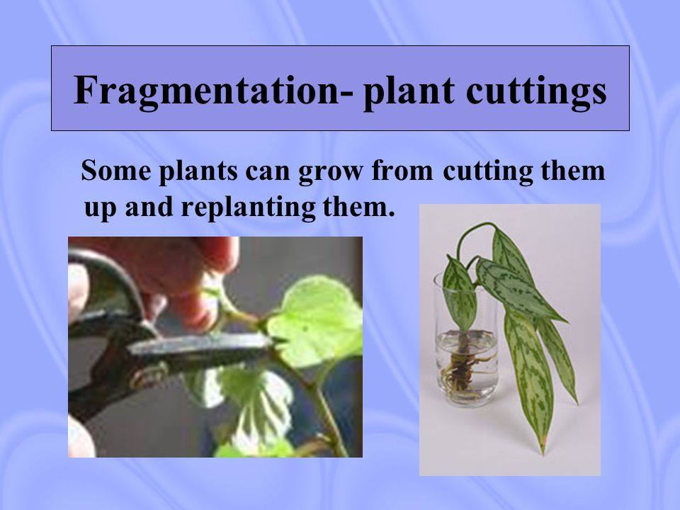 Fragmentation- plant cuttings