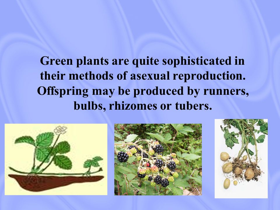 Green plants are quite sophisticated in their methods of asexual reproduction.