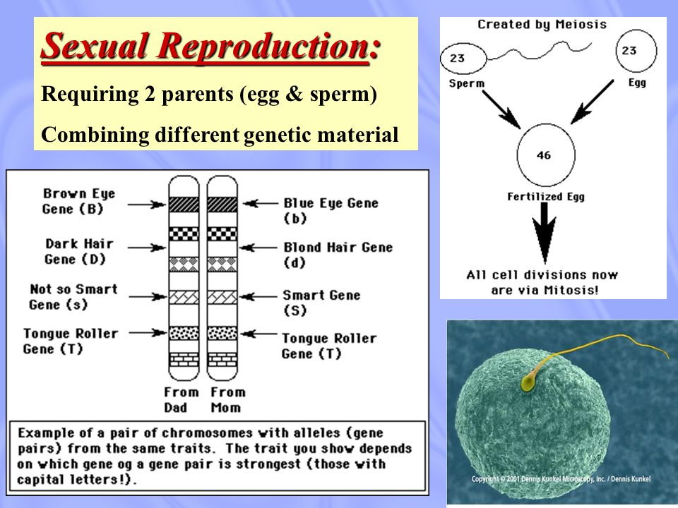 Sexual Reproduction: Requiring 2 parents (egg & sperm)