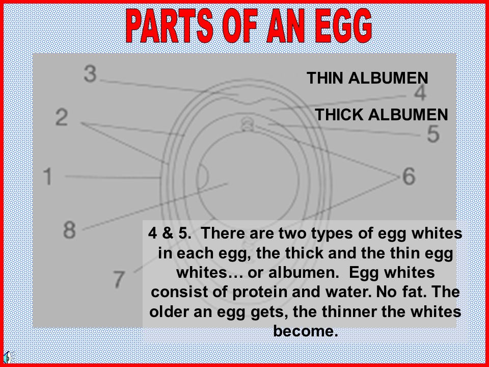 PARTS OF AN EGG THIN ALBUMEN THICK ALBUMEN