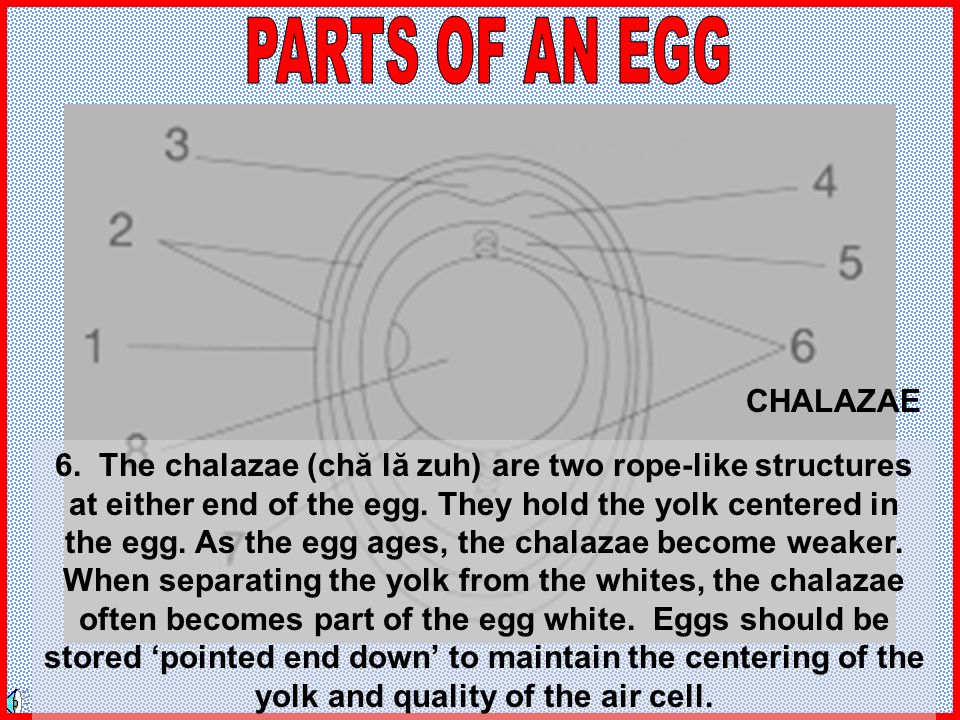 PARTS OF AN EGG CHALAZAE