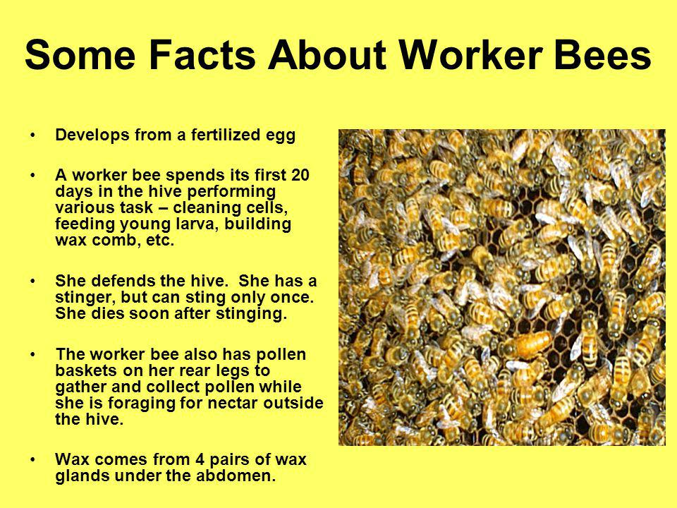 Some Facts About Worker Bees