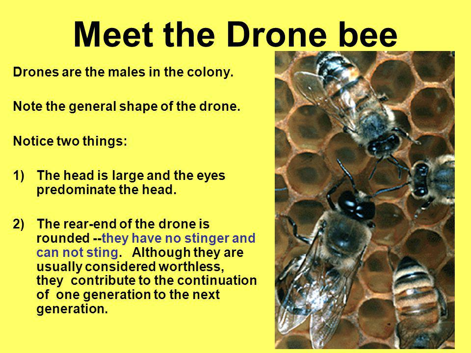 Meet the Drone bee Drones are the males in the colony.