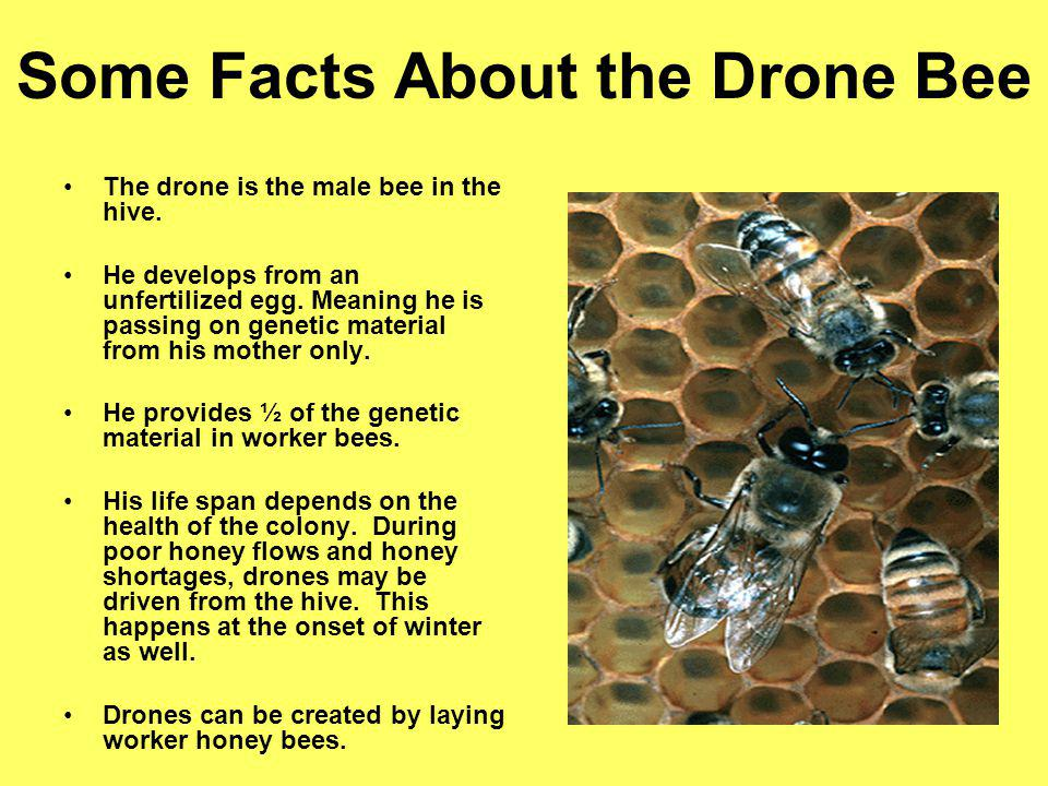 Some Facts About the Drone Bee