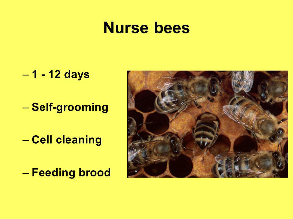 Nurse bees 1 - 12 days Self-grooming Cell cleaning Feeding brood