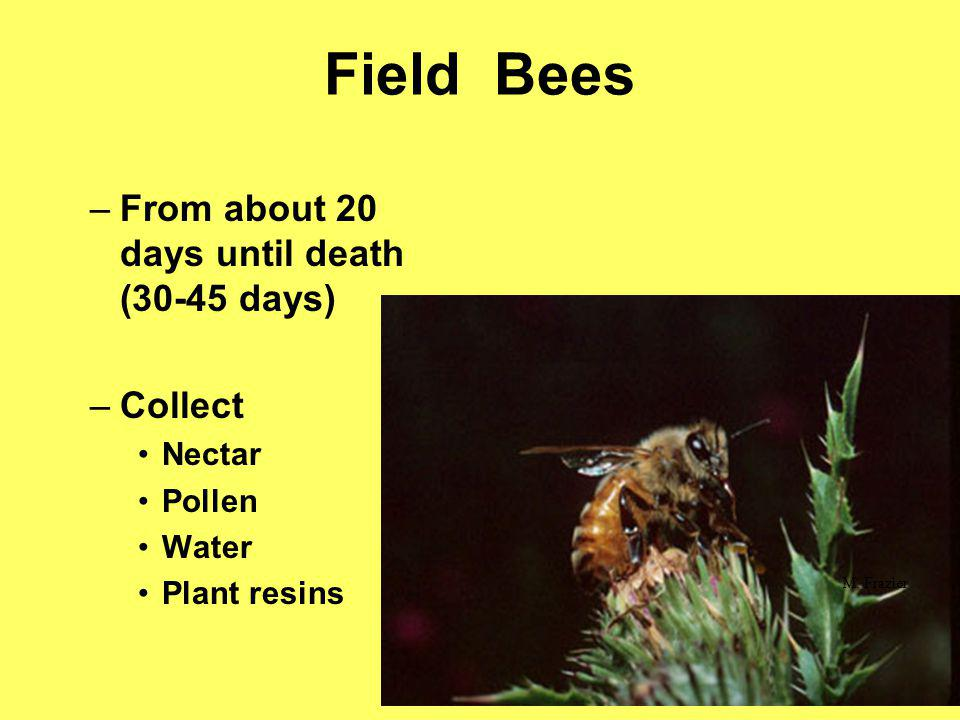 Field Bees From about 20 days until death (30-45 days) Collect Nectar