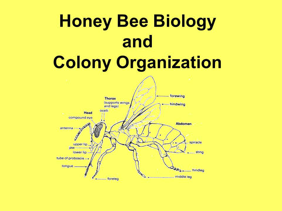 Honey Bee Biology and Colony Organization