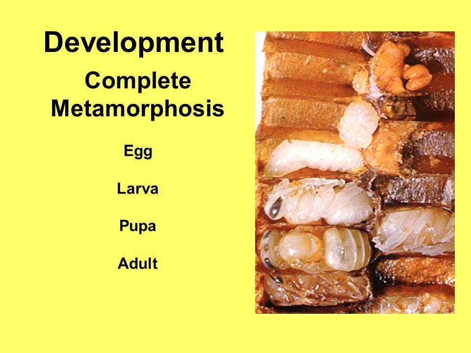 Development Complete Metamorphosis Egg Larva Pupa Adult