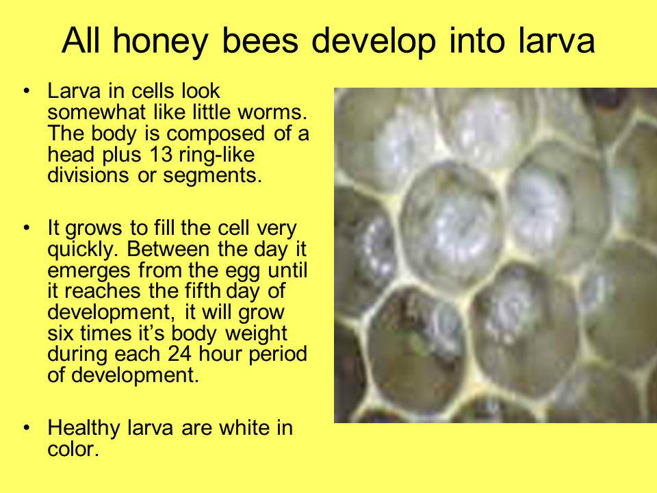 All honey bees develop into larva