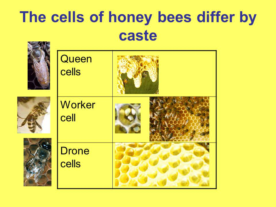 The cells of honey bees differ by caste