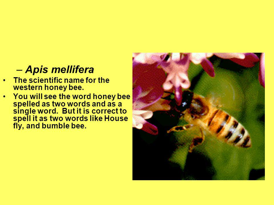 Apis mellifera The scientific name for the western honey bee.