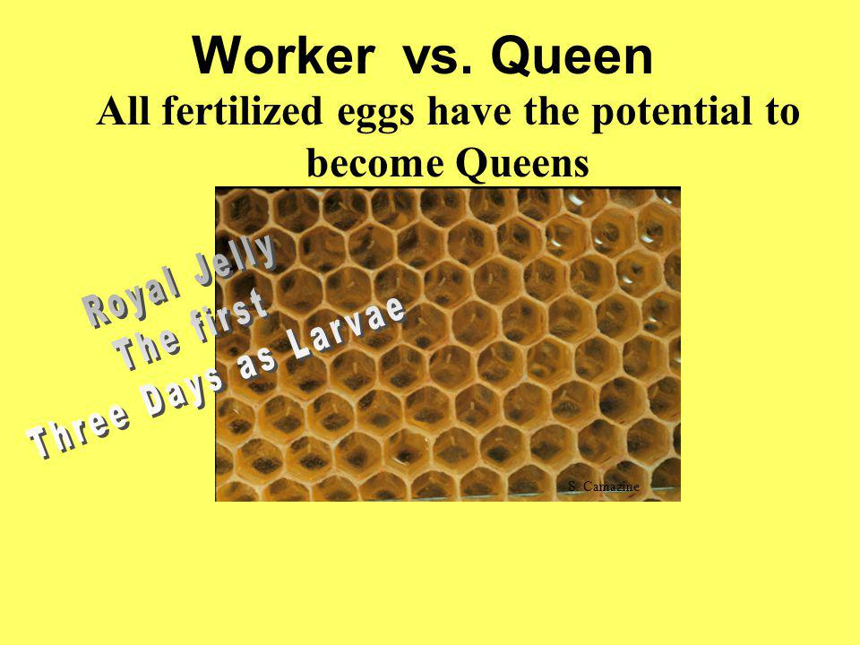 All fertilized eggs have the potential to become Queens