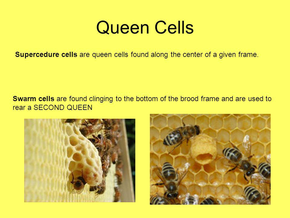 Queen Cells Supercedure cells are queen cells found along the center of a given frame.