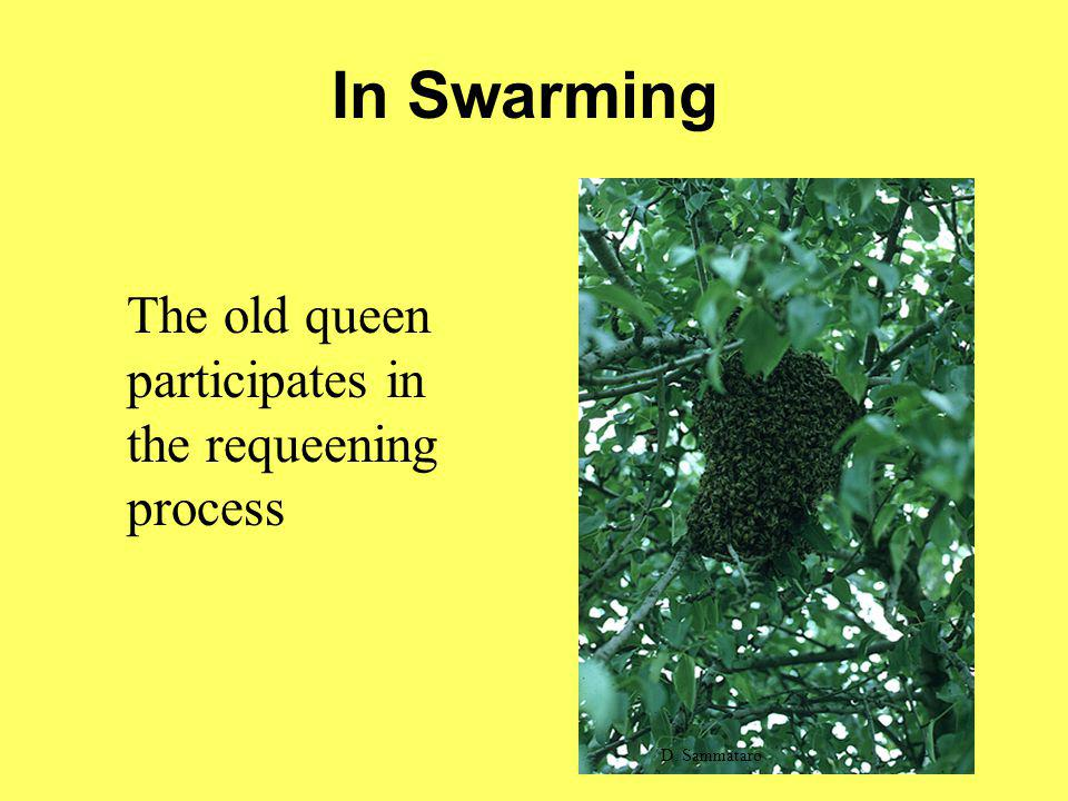 In Swarming The old queen participates in the requeening process