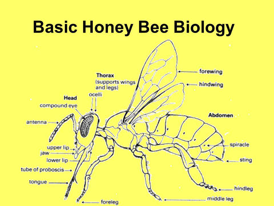 Basic Honey Bee Biology