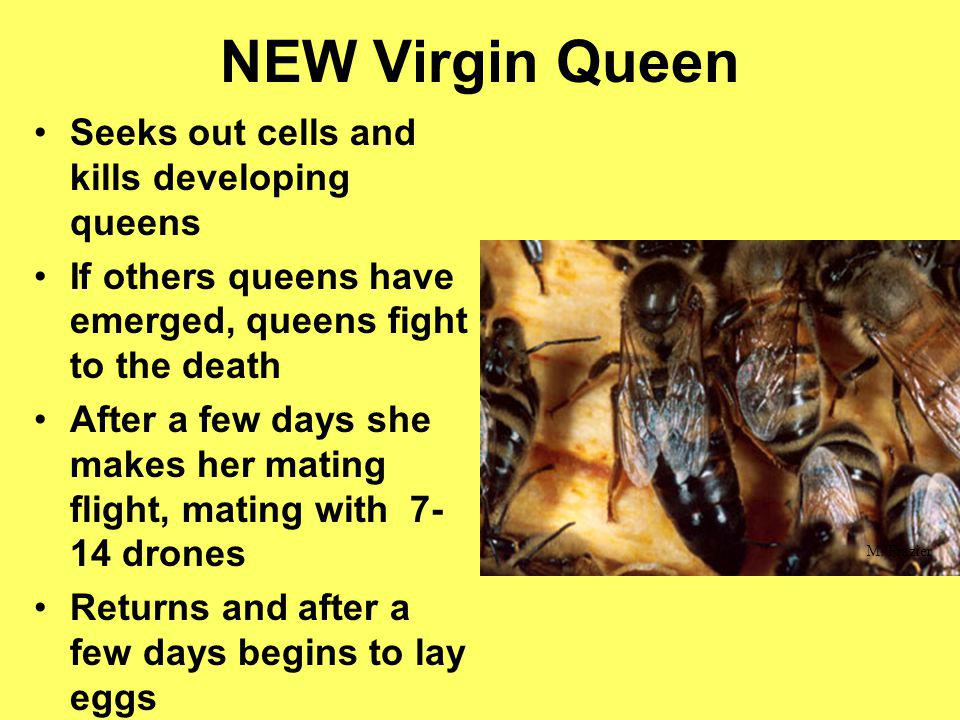 NEW Virgin Queen Seeks out cells and kills developing queens