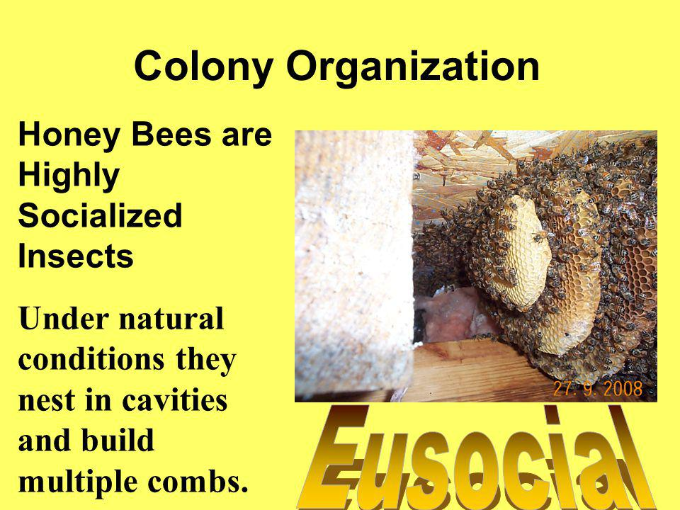 Colony Organization Eusocial Honey Bees are Highly Socialized Insects