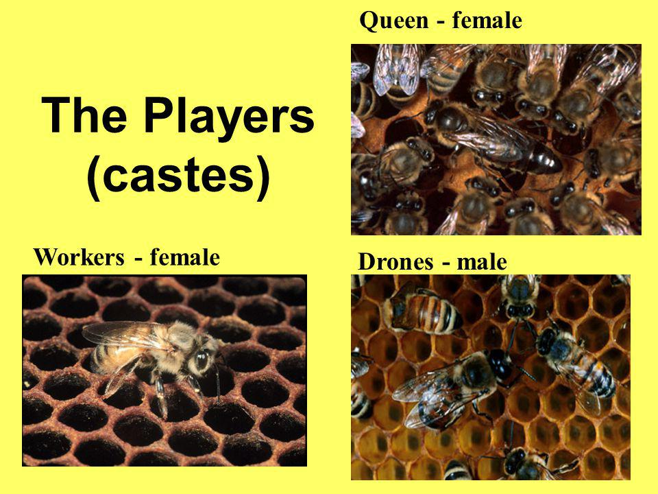 The Players (castes) Queen - female Workers - female Drones - male