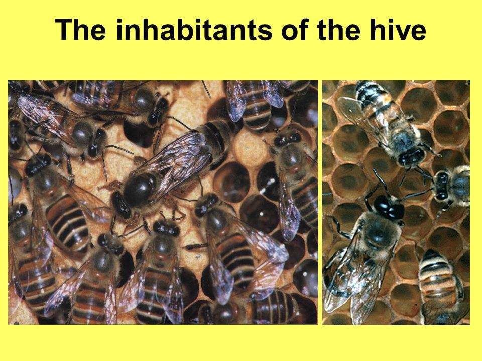 The inhabitants of the hive