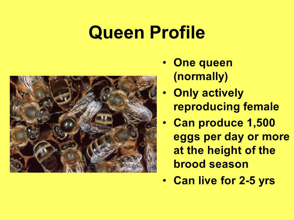 Queen Profile One queen (normally) Only actively reproducing female