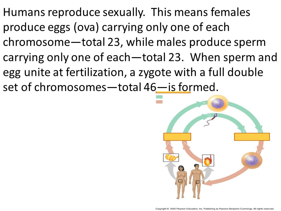 Humans reproduce sexually