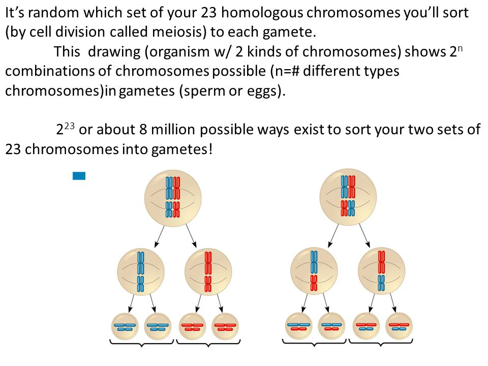 It's random which set of your 23 homologous chromosomes you'll sort (by cell division called meiosis) to each gamete.