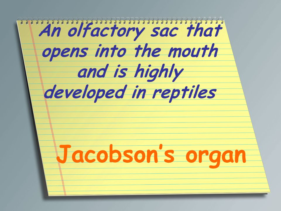 An olfactory sac that opens into the mouth and is highly developed in reptiles