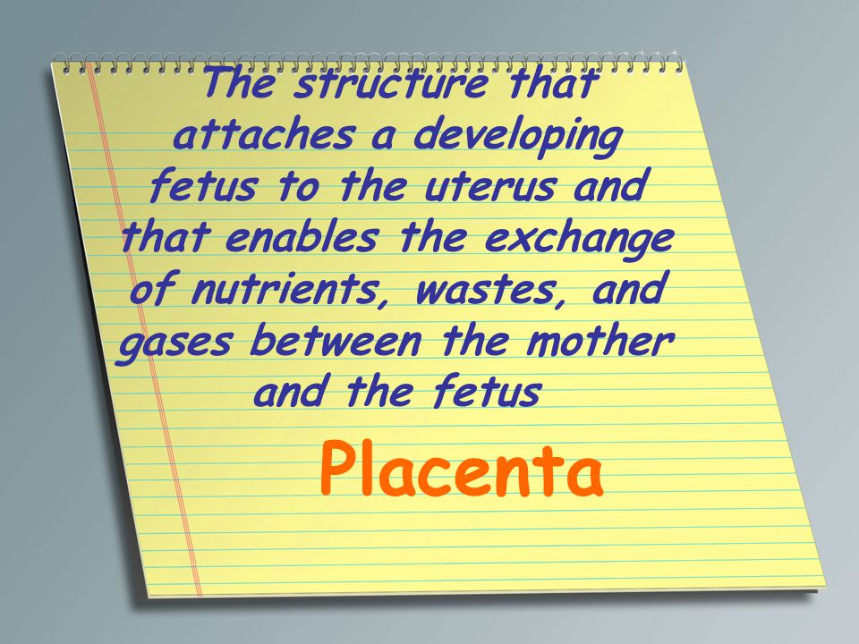The structure that attaches a developing fetus to the uterus and that enables the exchange of nutrients, wastes, and gases between the mother and the fetus