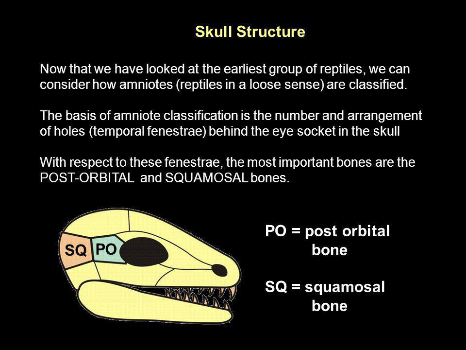 Skull Structure PO = post orbital bone SQ PO SQ = squamosal bone