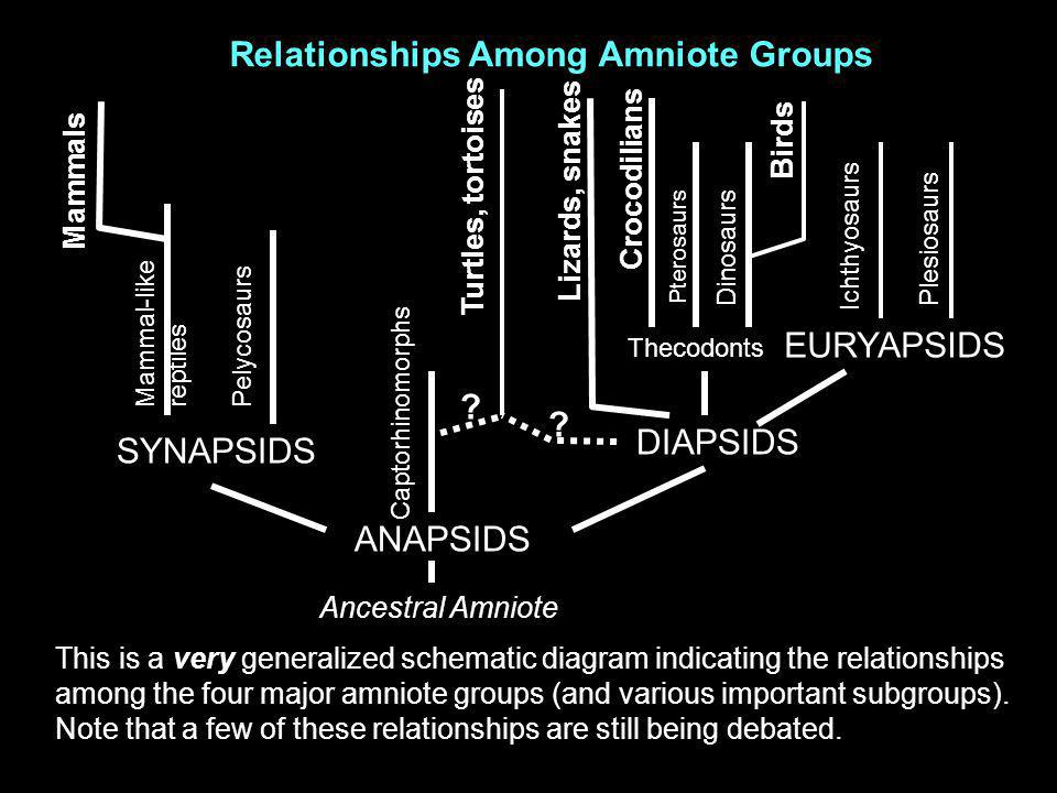 Relationships Among Amniote Groups