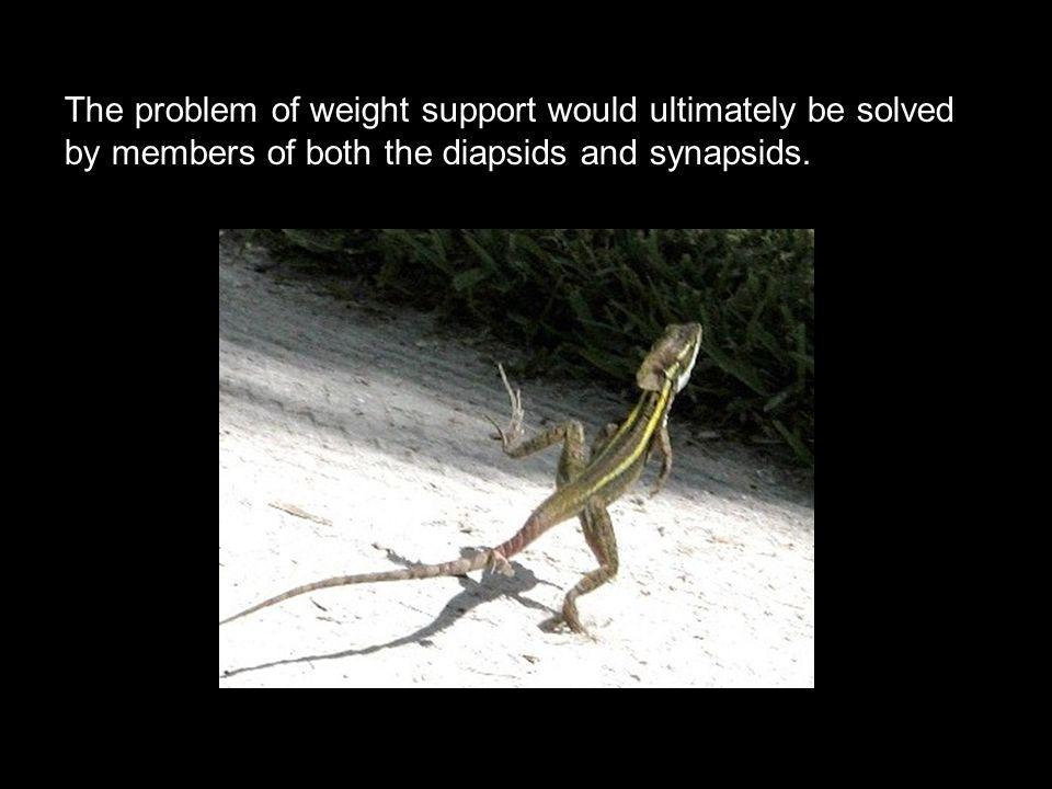 The problem of weight support would ultimately be solved by members of both the diapsids and synapsids.