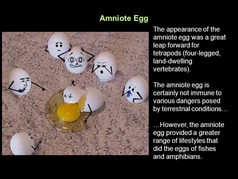 Amniote Egg The appearance of the amniote egg was a great leap forward for tetrapods (four-legged, land-dwelling vertebrates).