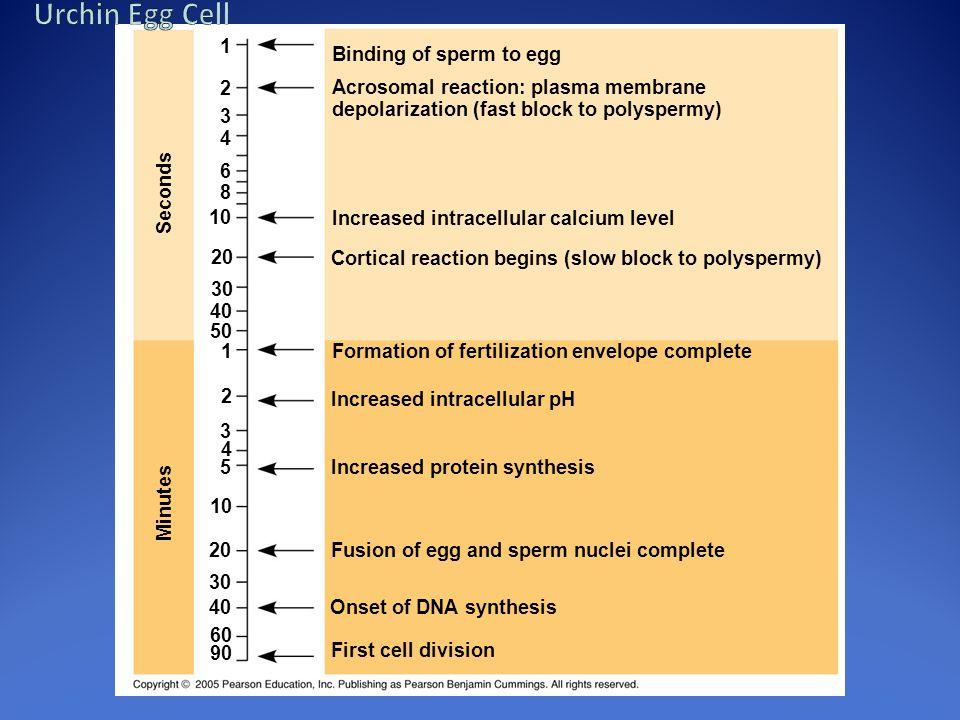 Urchin Egg Cell 1 Binding of sperm to egg 2