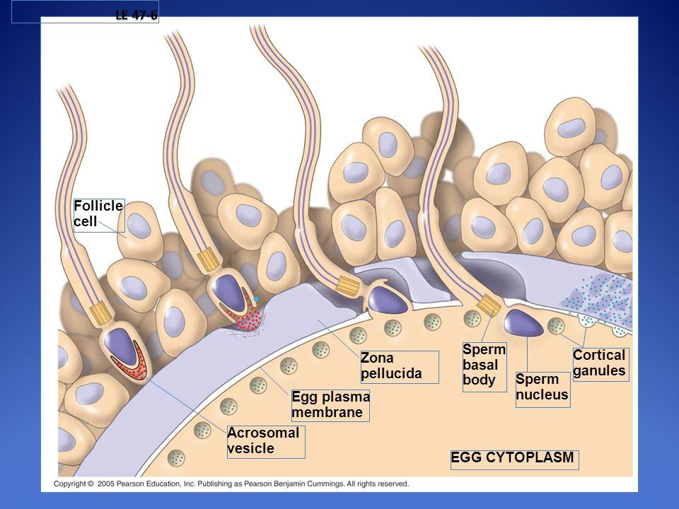 LE 47-6 Follicle. cell. Sperm. basal. body. Zona. pellucida. Cortical. ganules. Sperm. nucleus.