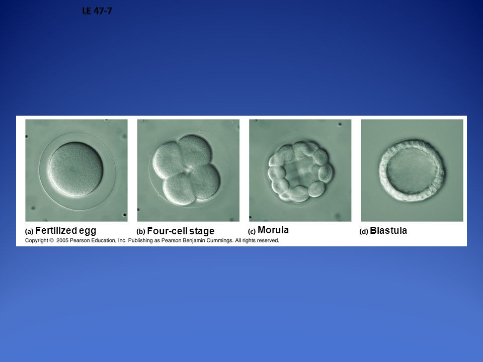LE 47-7 Fertilized egg Four-cell stage Morula Blastula