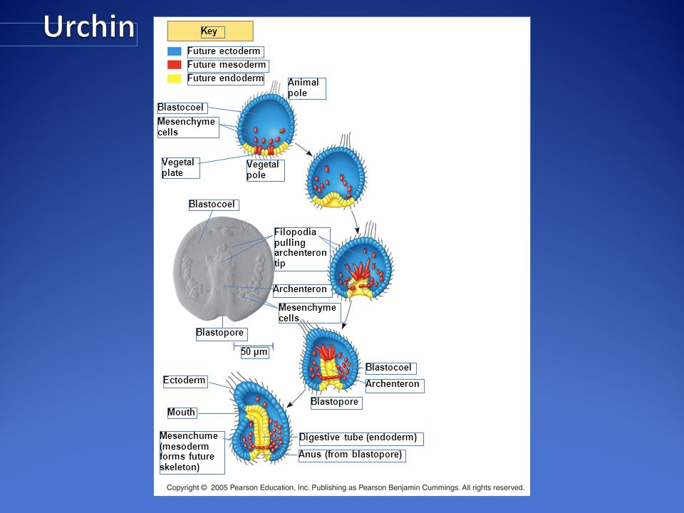 Urchin Key Future ectoderm Future mesoderm Future endoderm Animal pole
