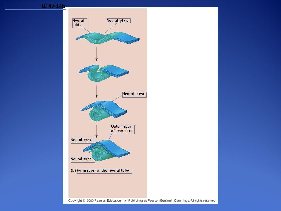 LE 47-14b Neural fold Neural plate Neural crest Outer layer
