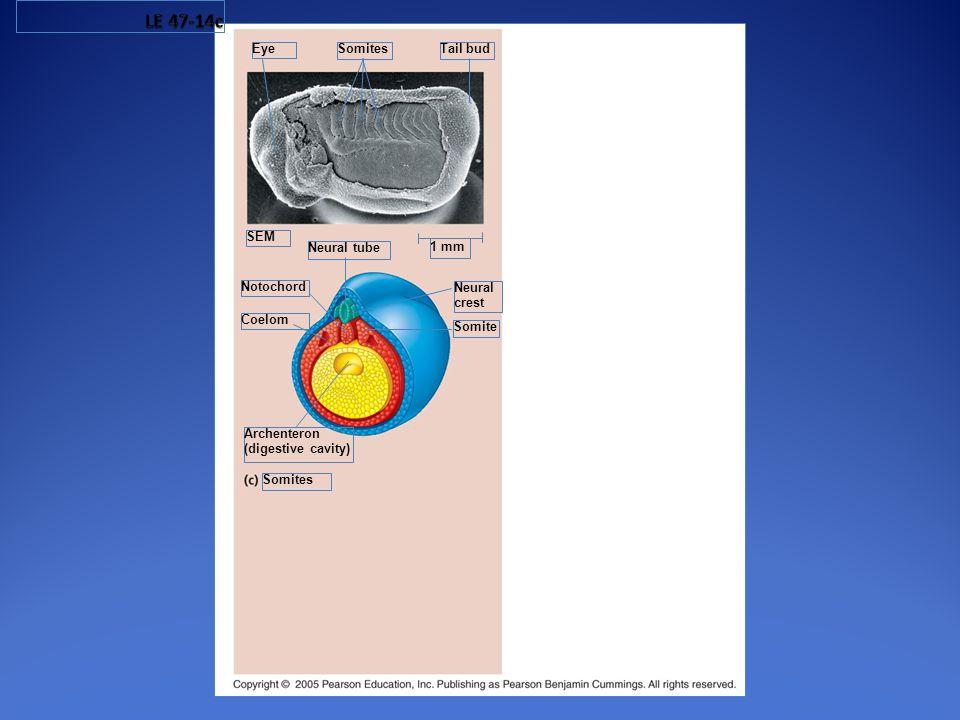 LE 47-14c Eye Somites Tail bud SEM Neural tube 1 mm Notochord Neural