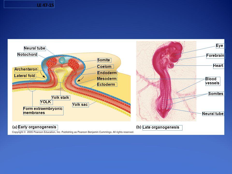LE 47-15 Eye Neural tube Notochord Forebrain Somite Coelom Heart