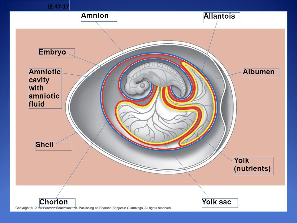 Amnion Allantois Embryo Amniotic cavity with amniotic fluid Albumen