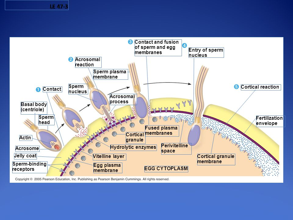 LE 47-3 Contact and fusion of sperm and egg membranes Entry of sperm
