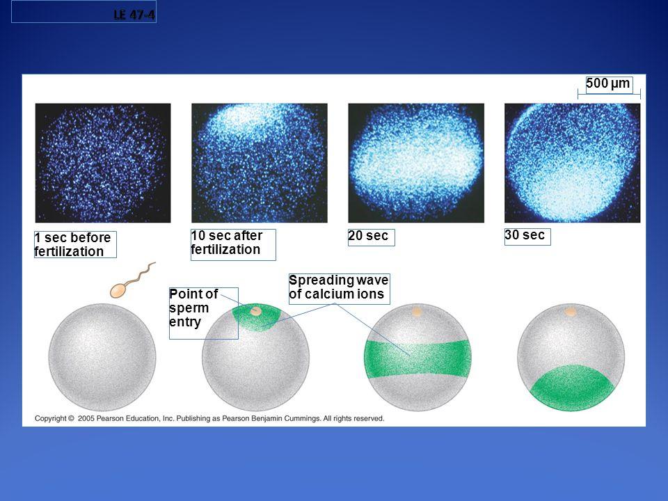 LE 47-4 500 µm 1 sec before fertilization 10 sec after fertilization