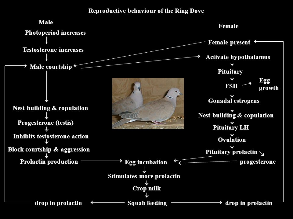 Reproductive behaviour of the Ring Dove