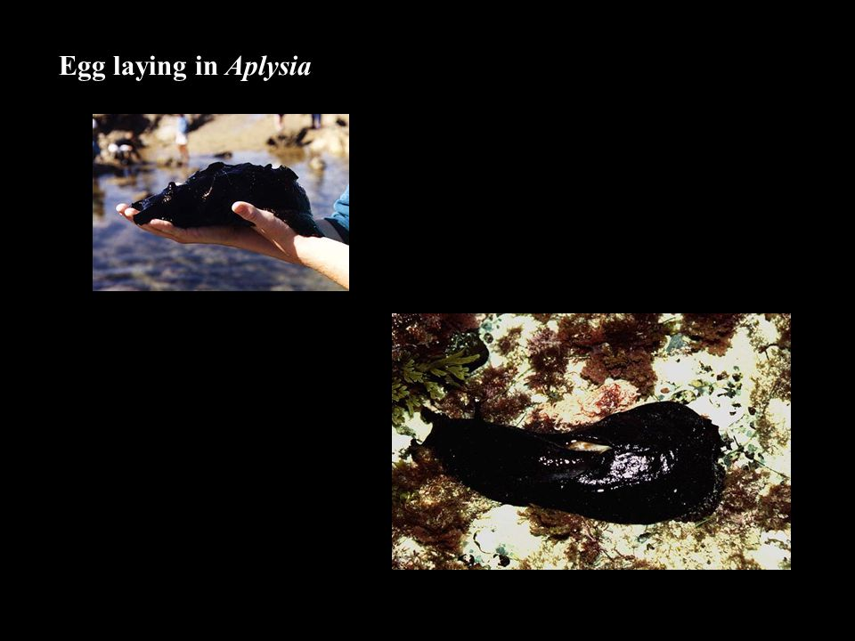 Egg laying in Aplysia
