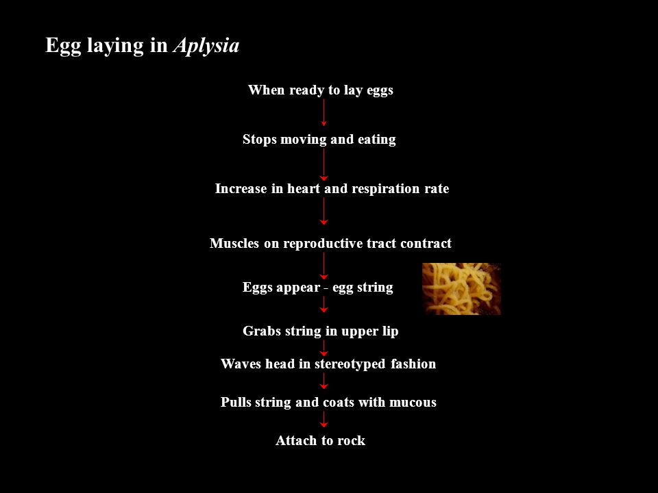 Egg laying in Aplysia When ready to lay eggs Stops moving and eating