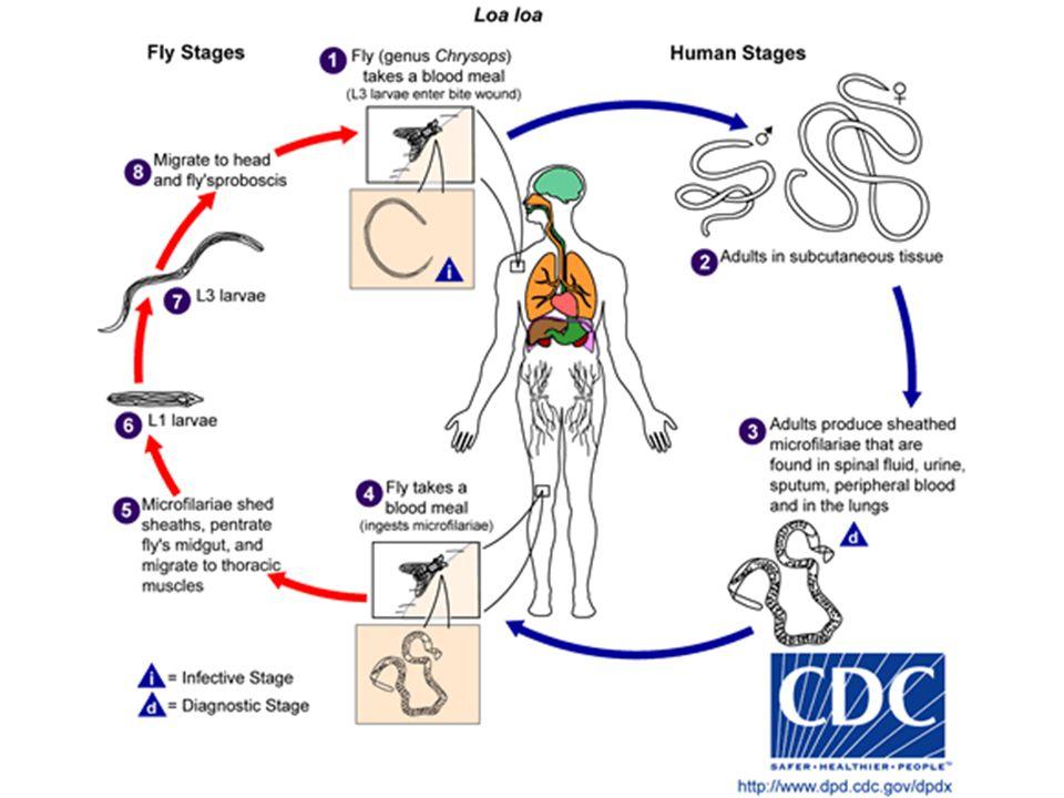 Life Cycle of Loa loa: