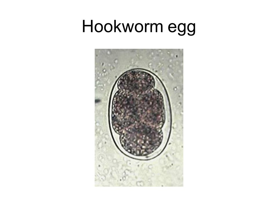 Hookworm egg